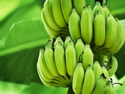 Antibiotics could prevent huge losses in food production, like the production of bananas, as a result of viruses.