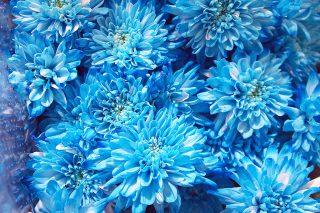 Ce chrysanthème bleu spécialement cultivé avait besoin de valeurs pH optimales afin d'arriver à pleine floraison.