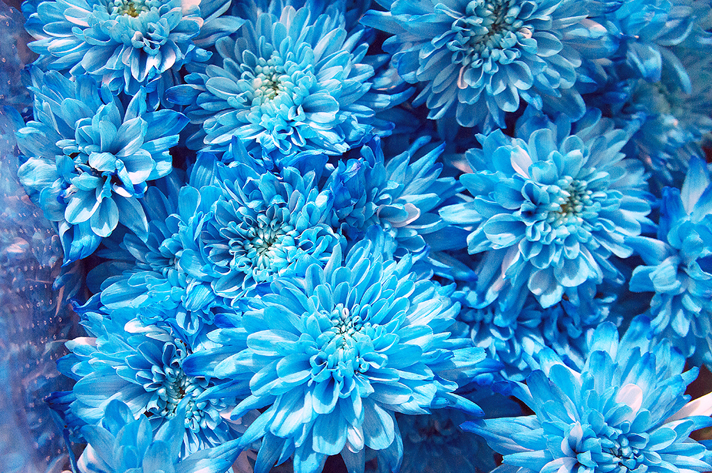 This specially cultured blue Chrysanthemum needed optimal pH values in order to grow to a full flower.