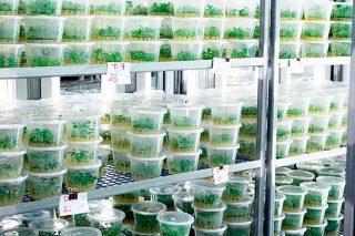 Récipients de culture avec tissus de plantes en chambre de croissance.