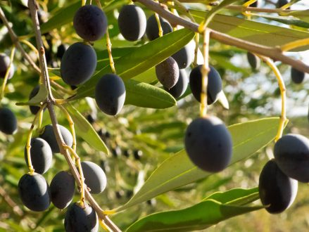 Olive trees also need salt, but if the salts are not properly combined they can damage the plant or tree.
