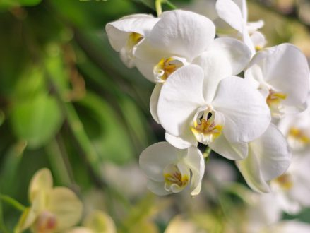 Peptones are natural sources of amino acids, proteins and peptides. Peptones are used in media to grow orchids for example.