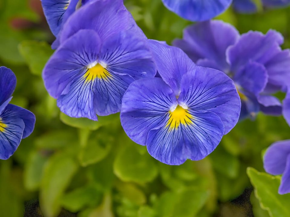 This specially designed blue petunia with star needed the right amount of energy during its culture process.