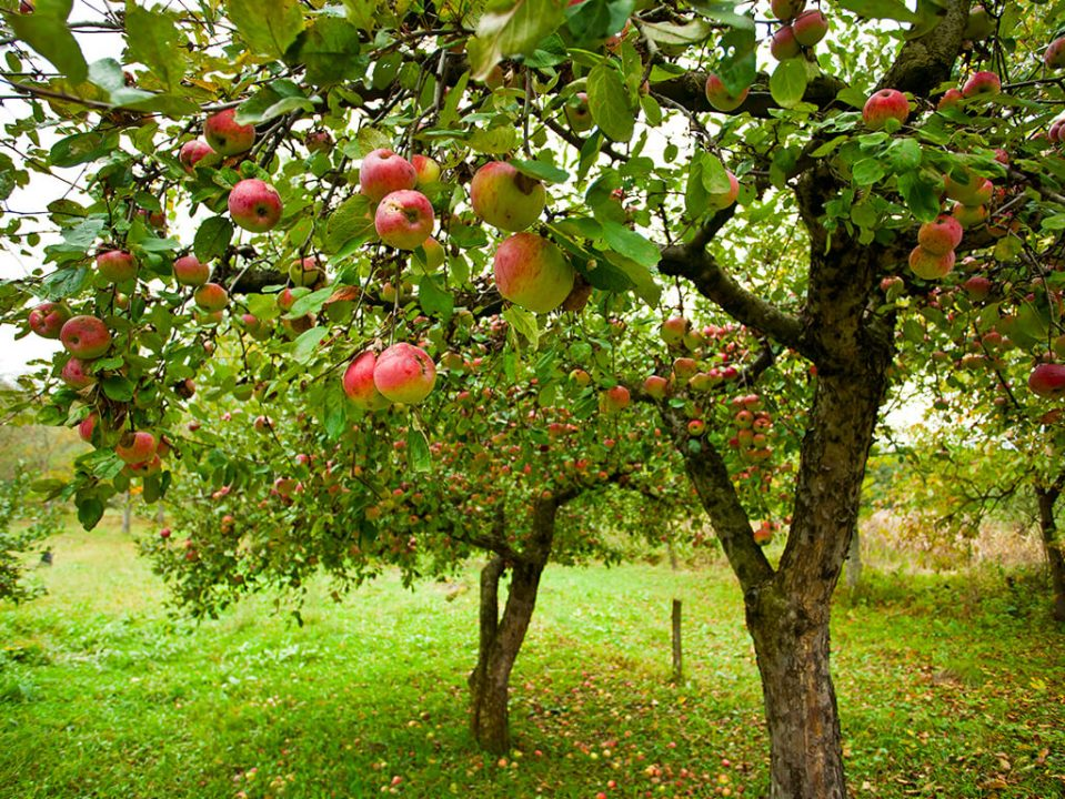 Medium with salts combined with vitamins can enhance growth. And, for example, bigger Apple trees , can produce more fruits.