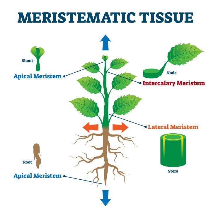 Meristem tissue culture